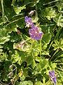 Geranium phaeum001.jpg