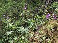 Geranium sylvaticum Kiiminki, Finland 16.06.2013.jpg