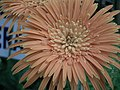 Gerbera from Lalbagh flower show Aug 2013 7961.JPG