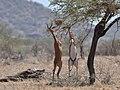 Gerenuks eating - Samburu, Kenya - 2014 (cropped).JPG