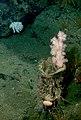 Gersemia juliepackardae deep-sea coral.jpg