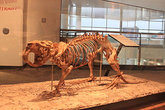 Castoroides - Skeleton in Minnesota Science Museum