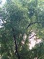 Ginjoler del carrer Arimon P1490008.jpg