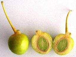 Ginkgo biloba - fruit