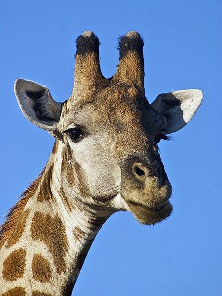 File:Giraffa camelopardalis angolensis (head).jpg