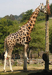 Megtermett Rotschild-zsiráfbika