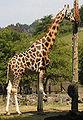 Giraffa camelopardalis rothschildi.jpg
