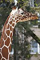 Giraffe 1 2 (5608786331).jpg