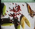 Gloriosa superba fruits and seeds, by Omar Hoftun.jpg