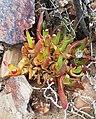 Glottiphyllum peersii -Klaarstroom.jpg