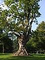 Gnarled old tree, Callendar House - geograph.org.uk - 987122.jpg
