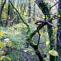 Golden beech leaves - geograph.org.uk - 1590037.jpg