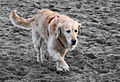 Golden retriever walking on beach.jpg