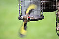 Goldfinch - April 2009 - Made Explore -) (3431897542).jpg