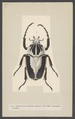 Goliathus - Print - Iconographia Zoologica - Special Collections University of Amsterdam - UBAINV0274 001 06 0041.tif