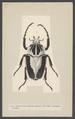 Goliathus - Print - Iconographia Zoologica - Special Collections University of Amsterdam - UBAINV0274 001 06 0041.tif