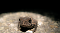 Goofy looking toad (6084817910).png