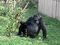 Gorilla gorilla 01.JPG