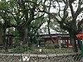 Grand camphor tree, Tosento Towers and Meoto-ishi Stones of Hakozaki Shrine in the morning 20150101.JPG