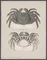 Grapsus pictus - - Print - Iconographia Zoologica - Special Collections University of Amsterdam - UBAINV0274 094 04 0004.tif