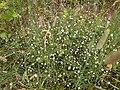 Grass-like starwort, Ehrenbach.jpg