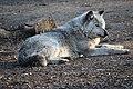 Grauer Wolf (32287781854).jpg