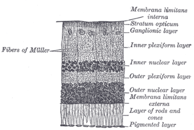 Section through retina