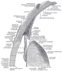 Porzione anteriore dell'occhio dove si può notare il passaggio tra sclera e congiuntiva bulbare