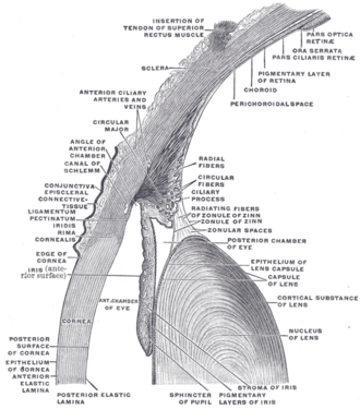 "Stroma of iris - The upper half of a sagittal section through the front of the eyeball. (""Stroma of iris"" labeled at bottom right.)"