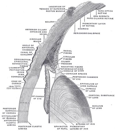 Fantastisch Anatomie Der Linse Galerie - Anatomie Von Menschlichen ...