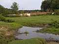 Grazing cattle by a stream, Dibden Purlieu, New Forest - geograph.org.uk - 203803.jpg