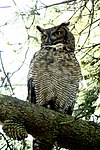Great-horned-owl-sitting.jpg