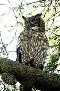 Great-horned-owl-sitting