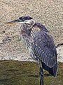 Great Blue Heron Juvenile (10116724464).jpg
