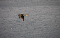 Great Cormorant (2).jpg