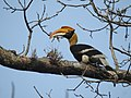Great Hornbill DSCN8644 09.jpg