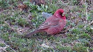 Great rosefinch species of bird