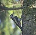 Great spotted woodpecker (51267549586).jpg