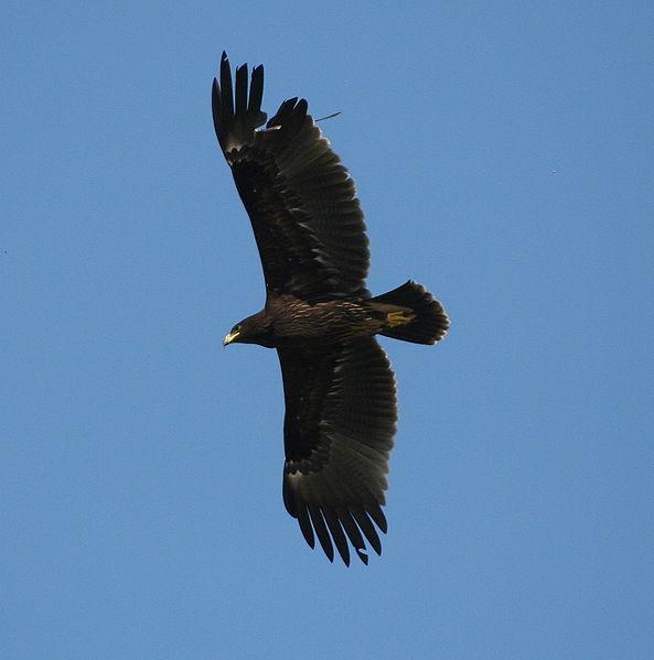 Plik:Greater spotted Eagle ( Aquila clanga)10-31-2006 2-50-11 PM.JPG