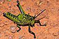 Green Milkweed Locust (Phymateus viridipes) nymph (7034588955).jpg