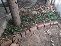 Green ground cover using silver squill.jpg
