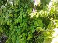 Green leaves plant.jpg