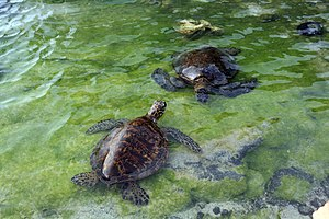 Green turtles, Chelonia mydas in Tide pool in Kona