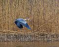 Grey Heron Ardea cinerea IMG 8504.jpg