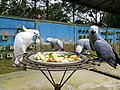 Grey parrots and cockatoo eating fruits.jpg
