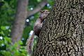 Grey squirrel, Central Park, New York 1.jpg