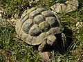 Griechische Landschildkröte - Testudo hermanni - junges Tier.jpg