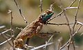 Ground Agama (Agama aculeata) (6628922157).jpg