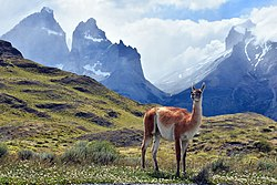 Guanaco Patagonico.jpg