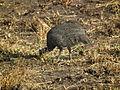 Guineafowl Numida meleagris in Tanzania 2617 Nevit.jpg